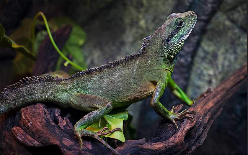 What do Chinese Water Dragons Eat?