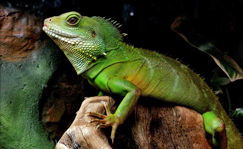 Get Familiar With Adult and Juvenile Dragons