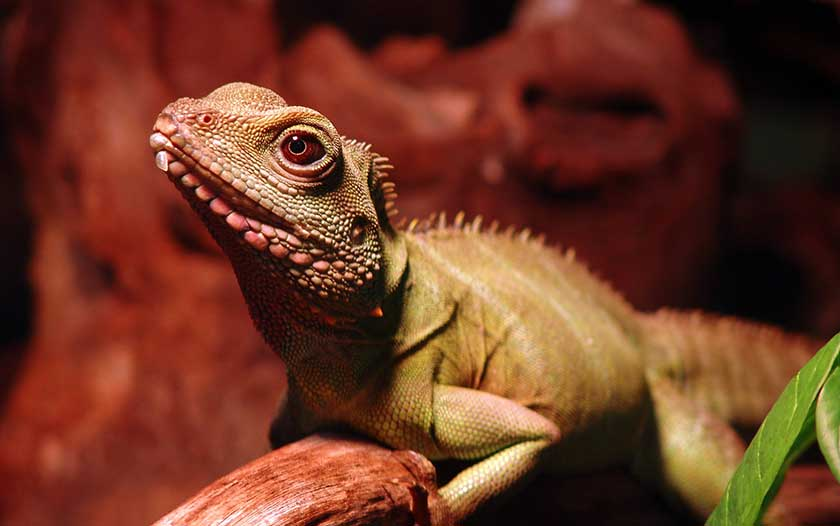 Reptiles ... & Lighting Setup - How Much Light Do Chinese Water Dragons Really Need?