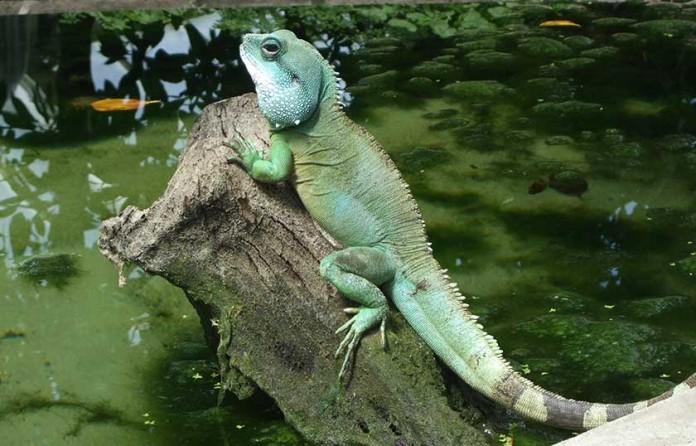... or Captive Chinese Water Dragons - Know Which One Makes a Good