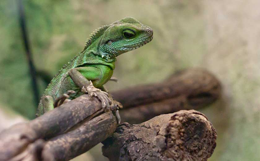 Cleaning Chinese Water Dragon Enclosure