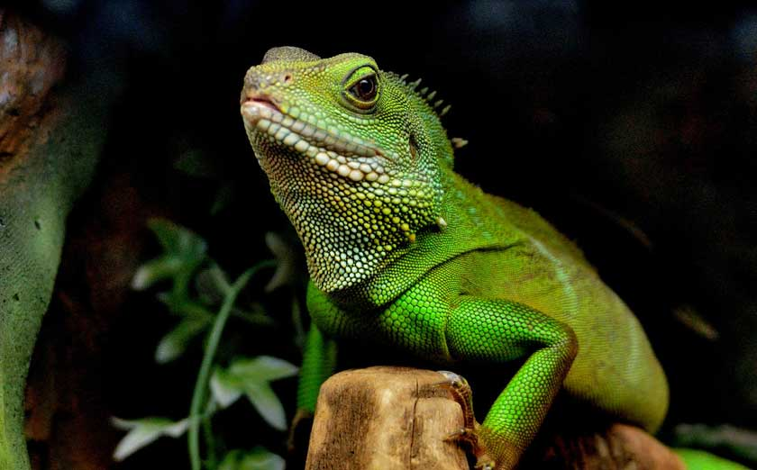 Are Your Chinese Water Dragons Ready for Breeding?