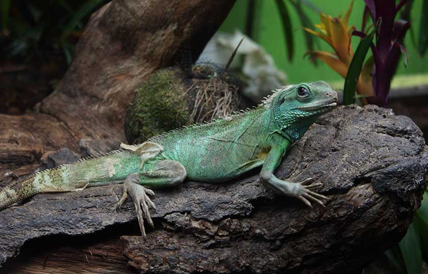 Keeping Chinese Water Dragons With Other Animals In The Same Space