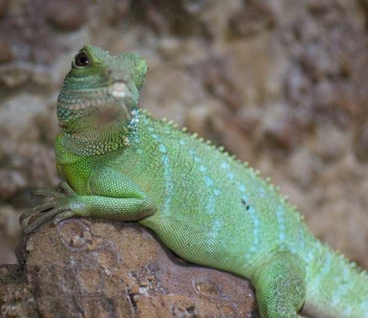 chinese water dragon feeding videos