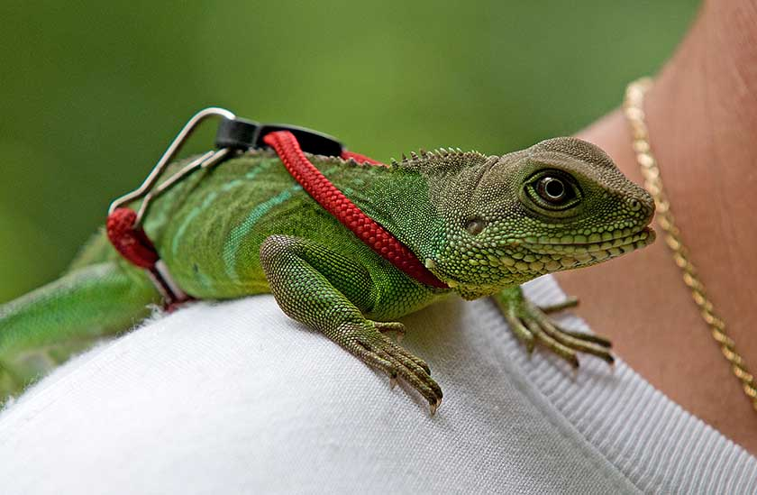 Take Chinese Water Dragon Out For A Walk